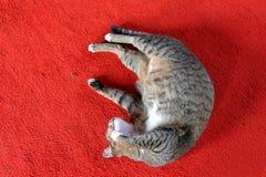 Серый кот спать на красном ковре стоковые фотографии rf