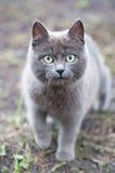 Серый кот с большими зелеными глазами Стоковая Фотография RF
