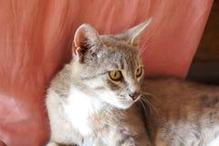 Серый кот с большими ушами и глазами желтого цвета лежит смотрящ бездомную розовую предпосылку стоковые изображения rf