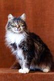 Серый кот с большими глазами Стоковая Фотография RF