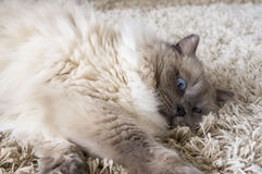 Серый кот с голубыми глазами Стоковая Фотография