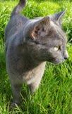 Серый кот с глазами золота Стоковая Фотография RF