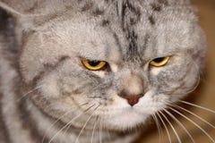 Серый кот с желтыми глазами Стоковые Фотографии RF