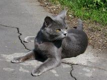 Серый кот с красивыми глазами Стоковое Изображение