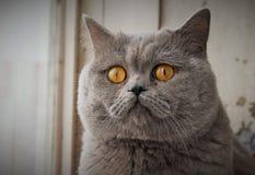Серый кот с оранжевыми глазами Стоковые Фотографии RF