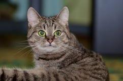 Серый кот с яркими ыми-зелен глазами лежит на поле стоковое изображение