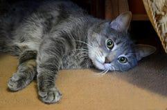 Серый кот тревоженый из-за камеры Стоковое Изображение