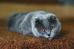 Серый кот уныл Стоковые Фото