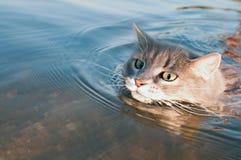 Серый кот усика плавая на реку Стоковое Изображение RF