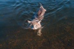 Серый кот усика плавая на реку Стоковое Изображение