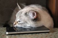 Серый кот уснувший, лежа голова на черном smartphone Стоковое Изображение