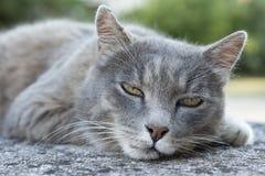 Серый кот Стоковая Фотография RF