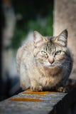 Серый кот Стоковое Изображение