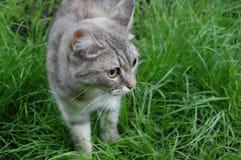 Серый кот стоковые изображения