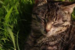 Серый кот Стоковое Фото