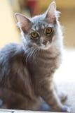 Серый кот momma Стоковая Фотография RF