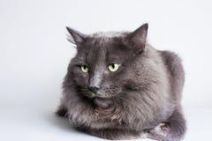 Серый кот Nebelung Стоковое Изображение