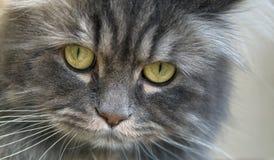 Серый кот Pesrian стоковое фото rf