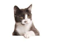 Серый кот Serie Стоковое Изображение