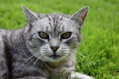 Серый кот tabby умышленно наблюдая Стоковые Изображения