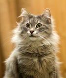 Серый кот Tom Стоковое фото RF