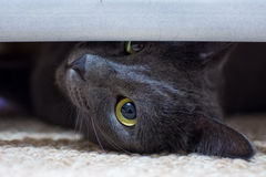 Серый красивый кот Стоковое Изображение