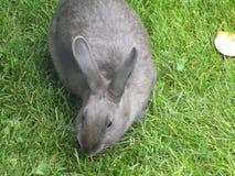 Серый кролик зайчика на траве Стоковые Изображения RF