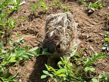 Серый кролик на поле стоковое изображение rf