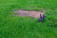 Серый кролик сидя на зеленом стекле Милые кролики зайчика Стоковые Фотографии RF