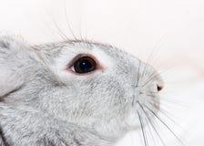 серый кролик Стоковые Фотографии RF