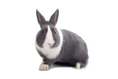 серый кролик Стоковые Изображения RF
