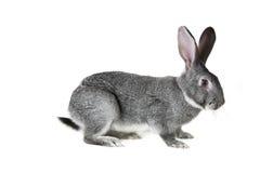 серый кролик Стоковое Фото