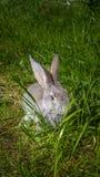 Серый кролик пряча на зеленой траве весны Стоковое Изображение RF