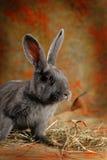 Серый кролик Стоковая Фотография