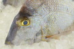 Серый крупный план Triggerfish Стоковые Изображения RF