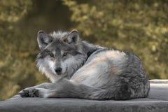 серый мексиканский волк стоковая фотография