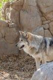 серый мексиканский волк Стоковые Изображения