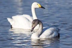 Серый молодой лебедь Стоковые Фотографии RF