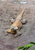 серый огромный песок монитора ящерицы Стоковые Изображения