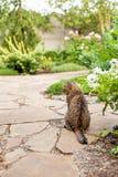 Серый домашний экзотический кот tabby shorthair сидя в саде стоковые фотографии rf