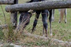Серый осленок Стоковые Фотографии RF