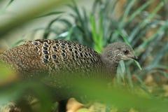 Серый Павлин-фазан Стоковое Изображение RF