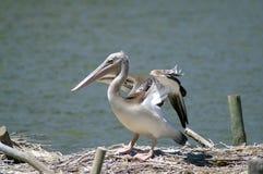 Серый пеликан с поднятыми крылами на береге стоковые фото