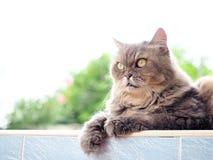 Серый персидский кот смотря вперед Стоковые Изображения