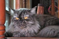 Серый персидский кот с выступает клыки стоковое фото rf