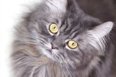 Серый перский кот стоковое фото