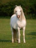 Серый пони в Paddock Стоковое фото RF
