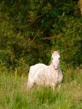 Серый пони в Paddock Стоковые Фото
