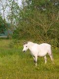 Серый пони в Paddock Стоковая Фотография