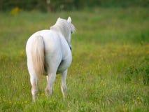 Серый пони в Paddock Стоковые Изображения